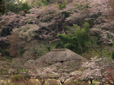 春の薬師池公園